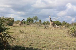 Safari low cost in Tanzania: il Saadani National Park